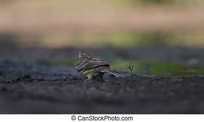 wild bird at the watering - yellowhammer at the watering and...