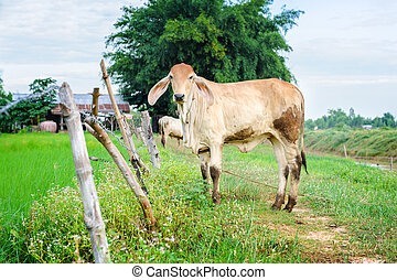 Ox - an ox in rural of Thailand