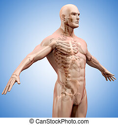 3d render of human body and skeleto