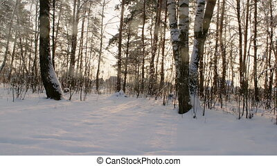 Birch Wood in Sunny Winter Day - Shot of snow-bound birch...