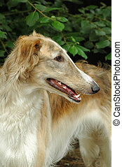 borzoi - elegant borzoi dog also known as the russian...