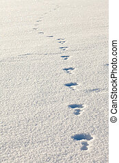 snowshoe hare tracks in the snow - recent tracks of a...