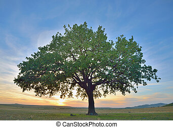 solitary oak tree at sunset