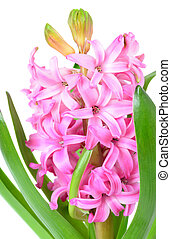 Pink hyacinth closeup - Pink hyacinth isolated on white...