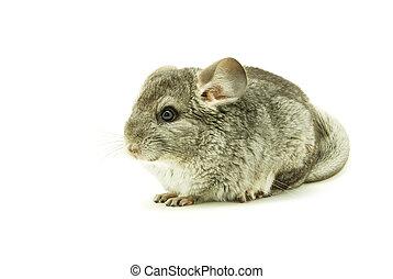 chinchilla  - gray chinchilla isolated on white