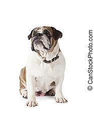 English Bulldog sitting on white background