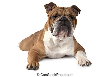 English Bulldog lying on white background and looking at the...