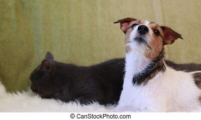 Jack Russell Terrier and cat - Dog Jack Russell Terrier and...
