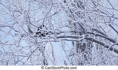 Crow on branch winter - On snow covered branch sits crow...