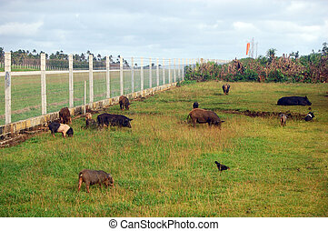 Pigs at field near airport fence Polynesia