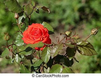 flowering bush red rose - Beautiful red rose on green bush...