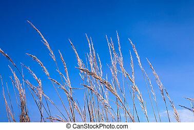 blauwe, hoog, gras, Hemel, tegen