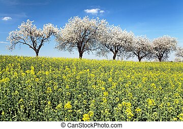 field of rapeseed and alley of cherry tree, rapeseed is the...