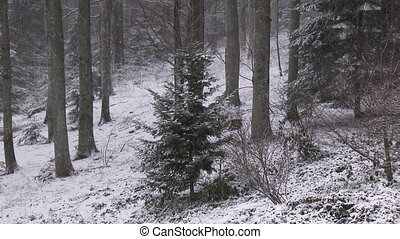 Gray wolf in winter forest - Gray wolf (Canis lupus) in...