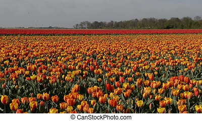 Dolly shot over Tulip fields in Holland, the Netherlands