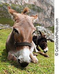 Donkeys - Equus africanus asinus - Donkeys Equus africanus...