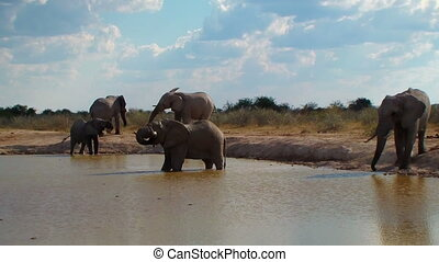 Elephant family entering pool and bathing Nxai Pan National...