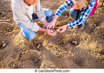 Close up, senior couple planting potatoes in row - Close up...