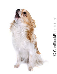 long hair chihuahua howling  in front of white background