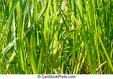 Sedge green background - Sedge green grass close-up, may be...