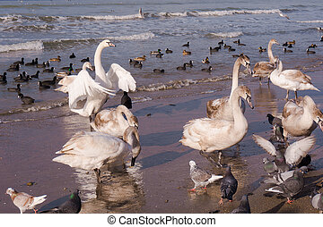 Swans on the sea Swans with ducks - Swans on the sea Swans...