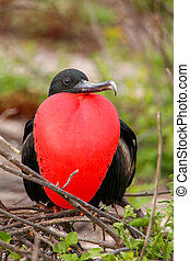 Male Magnificent Frigatebird with inflated gular sac on...