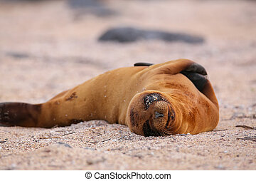 Young Galapagos sea lion lying on the beach on North Seymour...