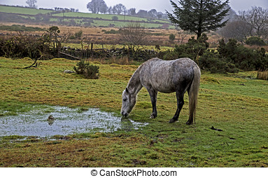 Dartmoor - Showing a horse in the rain on Dartmoor, england...