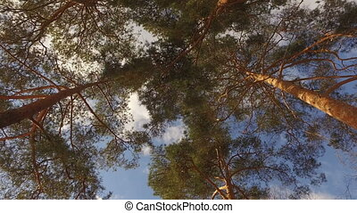 Tops of trees in forest Tall pine trees stretch to sky -...