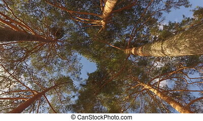 Tops of trees in forest. Tall pine trees stretch to sky. -...