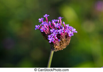 Verbena flowers with in the garden