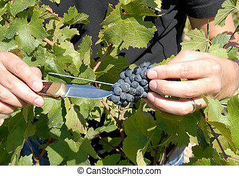 Pinot Noir Red Wine Grapes - Hand Holding Pinot Noir Red...