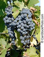 Cabernet Sauvignon Red Wine Grapes on the Vine