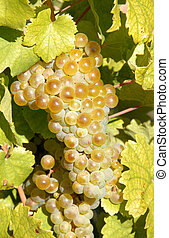 Riesling White Wine Grapes on the Vine