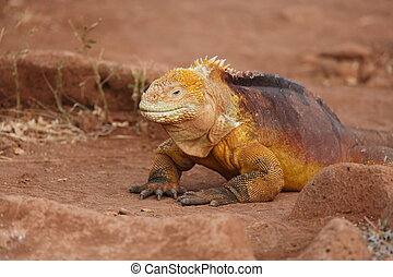 Very colorful Iguana on Galapagos Island