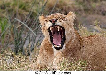 bostezando, colocar, joven, león, kenia, pasto o césped