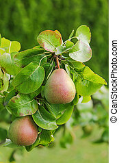 Pear tree with its fruit during summer season in Carinthia,...