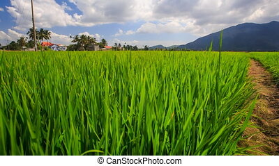 Rice Field against Distant Village Mountain Blue Sky -...