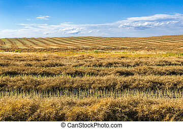 Windrow of canola - Canola field windrows and blue sky