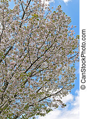 Sakura Cherry blossom flowers against blue sky during spring...