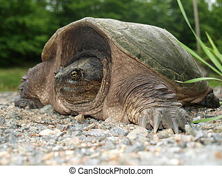 Snapping Turtle 2 - A side view of snapping turtle on the...
