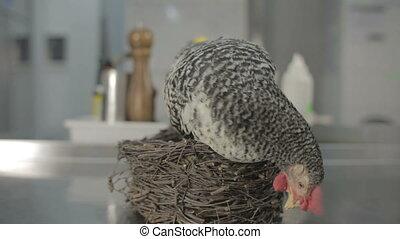 Grey chicken in the nest in the kitchen