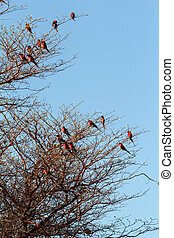 large nesting colony of Nothern Carmine Bee-eater Merops...