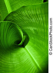 Banana Leaf Curl - Closeup of a banana leaf curled center