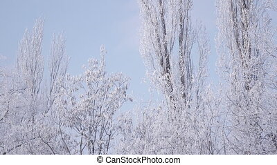 Snow covered trees - In morning sun snow covered tree...