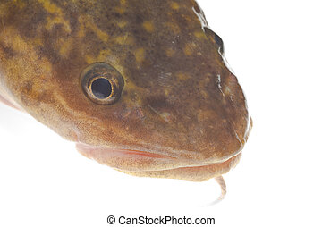 Burbot (Lota lota) head isolated on white - Camouflaged head...