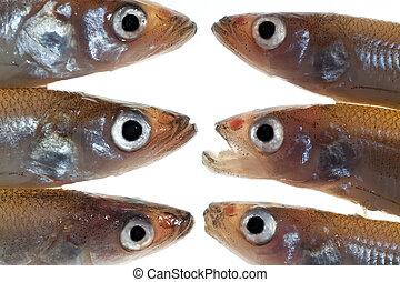 1,  (smelts), pez, pequeño, arreglo