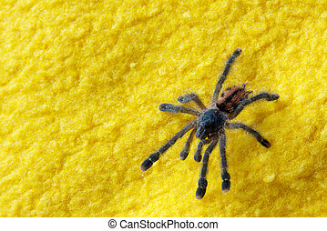 Spider - Tarantula spider on yellow fabric