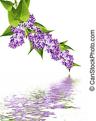 spring flowers lilac; isolated on white background - spring...
