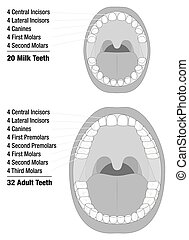 Milk Teeth Adult Teeth Comparison - Milk Teeth - Adult Teeth...